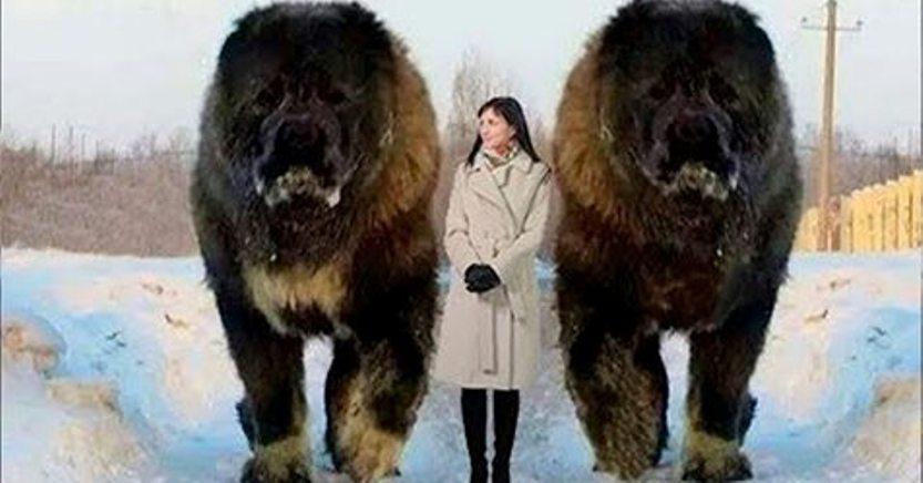 Топ-10 самых огромных собак в мире! Мы и не представляли, что такие животные существуют!