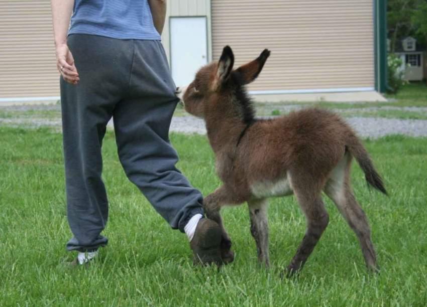 25 очаровательных маленьких осликов, которые сделают ваш день(22 фото + 4 гиф)