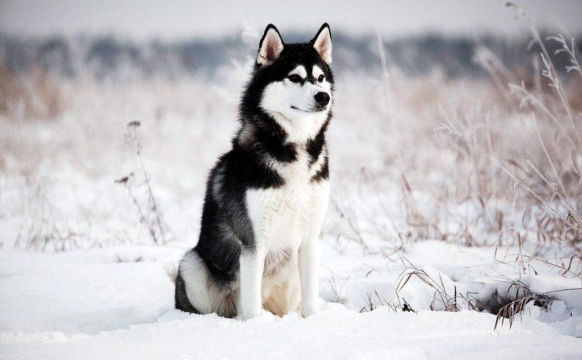 16 фотодоказательств того, что хаски — невероятно харизматичные собаки, с которыми невозможно соскучиться