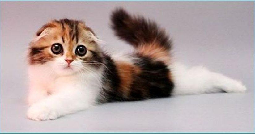 Фото котят хайленд-фолд — мило и пушисто!