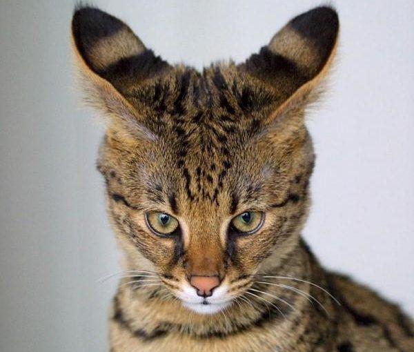 Топ 10 самых дорогих и редких пород кошек!