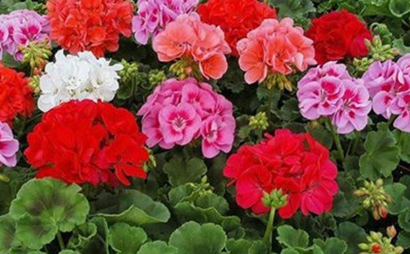 Простой и доступный рецепт волшебного эликсира для пышного цветения герани