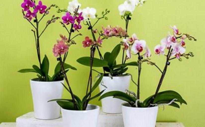 10 правил, чтобы орхидея цвела снова и снова. И каждый раз — все круче и круче!