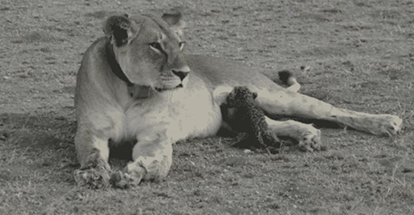Уникальные кадры: презрев законы природы, львица кормит осиротевшего котенка леопарда