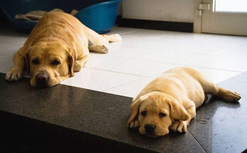 20 взрослых собак и их милые маленькие копии :)