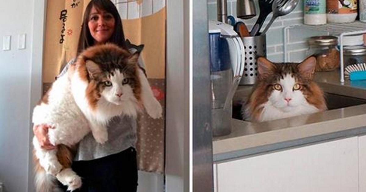 Самый большой кот Нью-Йорка, больше метра в длину и весом почти 13 килограмм
