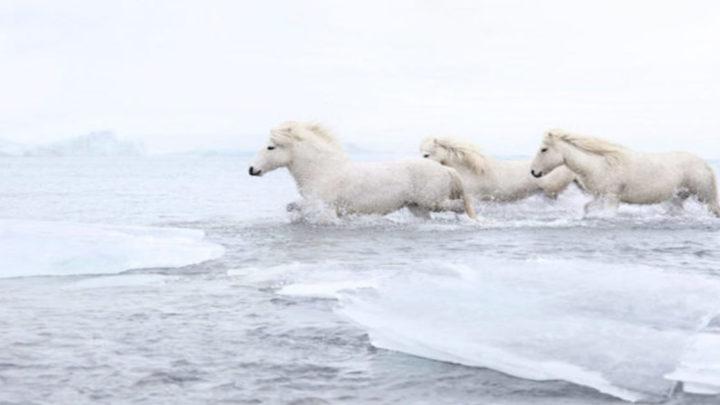 Словно из сказки: белые лошади на фоне сказочных пейзажей Исландии.