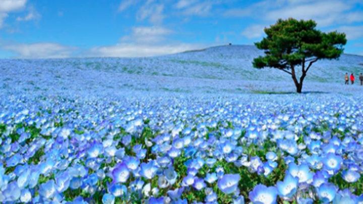 Фотографии японских цветочных полей, от которых просто дух захватывает