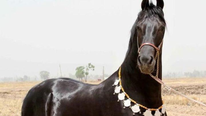 Марвари: самые загадочные лошади…