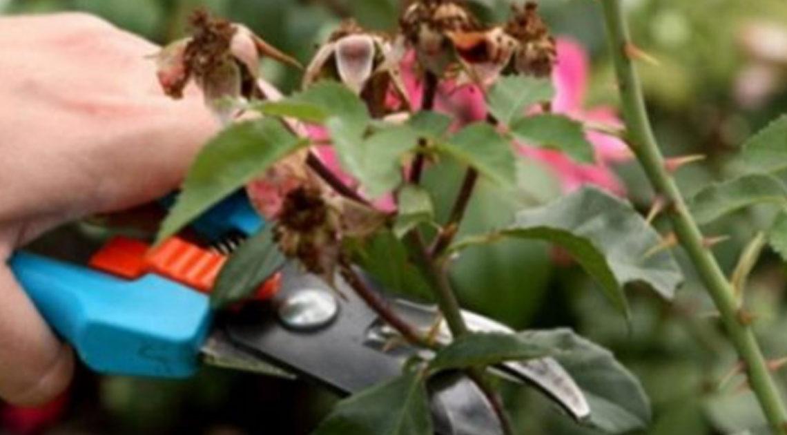 Совет,как правильно обрезать кусты роз весной, чтобы они не отцветали все лето